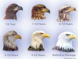 Bald-Eagle-Heads_optimized.jpg