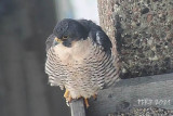 Peregrines 2021...Covid Continues. Photos will be added when they become available.