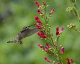 2020 Hummingbirds