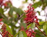 2021_rubythroated_hummingbirds