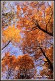 arbres_en_automne_de_bas_en_haut.JPG