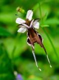 Papilionidae (Swallowtails)  鳳蝶