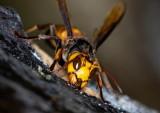 Greater Banded Hornet 黃腰胡蜂 Vespa tropica ducalis