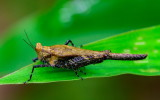 Pygmy Grasshopper 眼優角蚱 Eucriotettix oculatus
