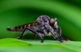 Robber Fly 食蟲虻