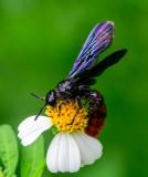 Scoliid Wasp 褐赤土蜂 Scolia azurea