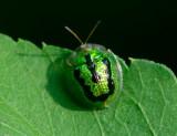 Tortoise Beetle 甘薯台龜甲 Taiwania circumdata