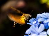Hawk Moth 長喙天蛾 Macroglossum