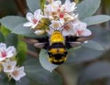 Sataspes xylocoparis 木蜂天蛾