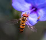 Black-banded Hover Fly 黑帶食蚜蠅 Episyrphus balteata