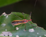 Coreid Bug 緣蝽