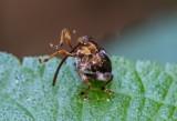 Weevils 象鼻蟲