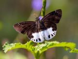 Hesperiidae (Skippers) 弄蝶