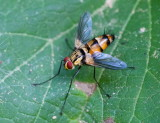 Hover Fly 食蚜蠅