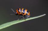 Case-bearing Leaf Beatle 三帶隱頭葉甲Cryptocephalus trifasciatus