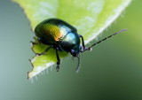Flea Beetle 藍跳甲 Altica cyanea