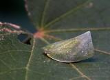 Moth Bug 碧蛾蠟蟬 Geisha distinctissima