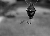 Humming Bird with an 8X10 camera