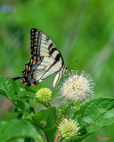 Eastern Tiger Swallowtail (Papilio glaucus) (DIN0282)