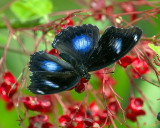 Great Eggfly, Common Eggfly or Blue Moon Butterflies