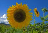 _MG_7150-sunflower-3-bee.jpg