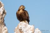 Rough Legged Hawk (dark morph)
