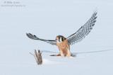 Kestral jumps off snow