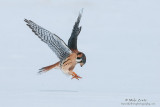 Kestral attacks over clean snow