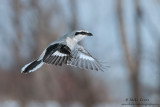 Northern Shrike hovering