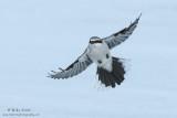 Northern shrike wings wide