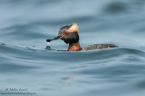 Horned Grebe on rolling waves