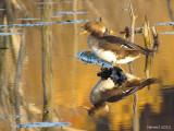 Harle couronnée - Hooded Merganser