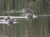 Sarcelle d'hiver - Green-winged Teal