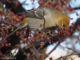 Durbec des sapins - 2012 - Pine Grosbeak