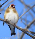 Chardonneret élégant - European Goldfinch