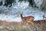 Ree - Roe Deer 3