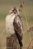 Common Buzzard - Buizerd