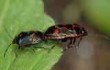 Eurydema-oleracea.jpg