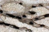 Camponotus_Styrofoam-nest.jpg