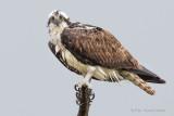 1DX_1359 - Osprey