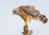 1DX_2194 - Red Shouldered Hawk