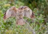 1DX_1898 - Immature Red Shoulder Hawk