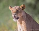 1DX_7640 - Lion
