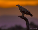 1DX_7828 - Eagle at dusk