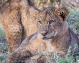 1DX_8573 - Lion cub