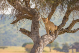 1DX11710 - Lion in a tree