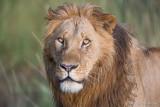 1DX_10018 - Lion