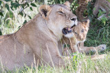 1DX12524 - Lion cub with mother