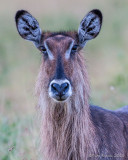 1DX11428 - Waterbuck