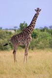 1DX_9648 - Masai Giraffe